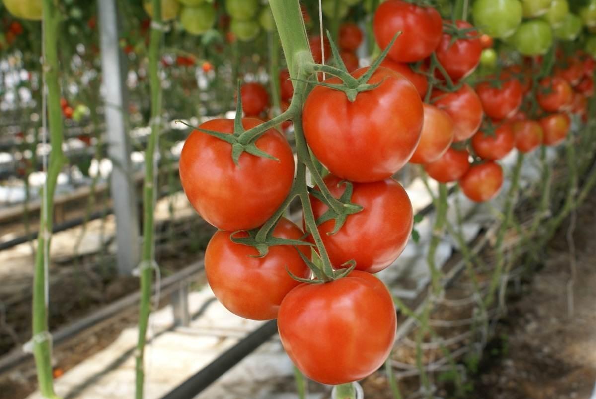 Корнеплоды – ерунда, вот томаты – это да!